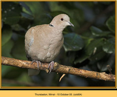 collared-dove-04.jpg