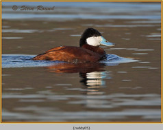 ruddy-duck-05.jpg