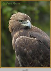 golden-eagle(c)-09.jpg