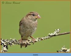 house-sparrow-60.jpg