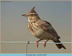 crested-lark-08.jpg