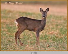 roe-deer-06.jpg