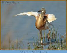 squacco-heron-13.jpg