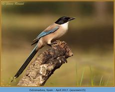 azure-winged-magpie-15.jpg