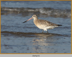 bar-tailed-godwit-13.jpg