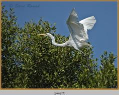 great-white-egret-25.jpg