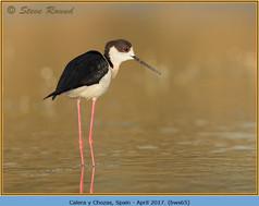 black-winged-stilt-65.jpg