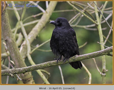 carrion-crow-14.jpg