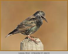 starling-12.jpg