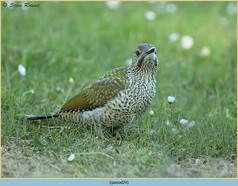 green-woodpecker-29.jpg