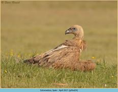 griffon-vulture-54.jpg