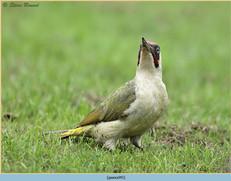 green-woodpecker-45.jpg