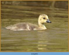 canada-goose-42.jpg