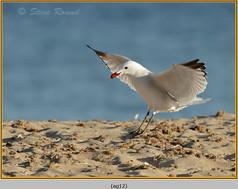 audouin's-gull-12.jpg