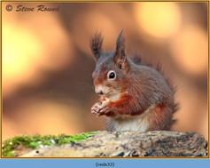 red-squirrel-33.jpg