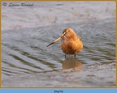 black-tailed-godwit- 70.jpg