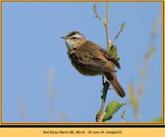 sedge-warbler-10.jpg