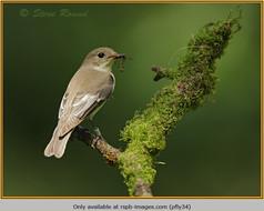 pied-flycatcher-34.jpg