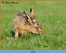 brown-hare-84.jpg