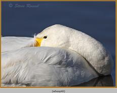 whooper-swan-40.jpg