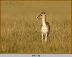 fallow-deer-18.jpg