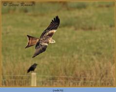red-kite-70.jpg