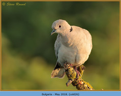 collared-dove-26.jpg
