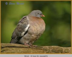 wood-pigeon-05.jpg
