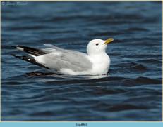 common-gull-46.jpg