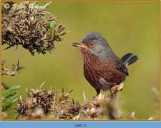dartford-warbler-11.jpg