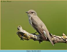spotted-flycatcher-27.jpg