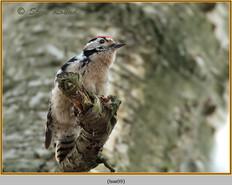 lesser-spotted-woodpecker-09.jpg
