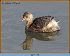 little-grebe-25.jpg