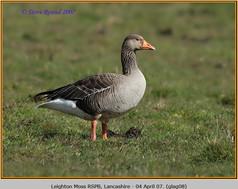greylag-goose-08.jpg