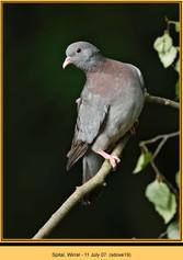 stock-dove-19.jpg
