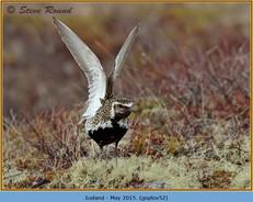 golden-plover-52.jpg