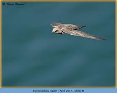 alpine-swift-14.jpg