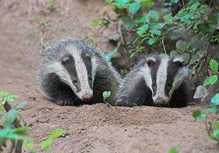 badger-1.jpg