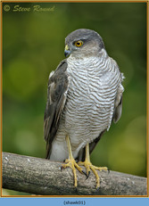 sparrowhawk-01.jpg