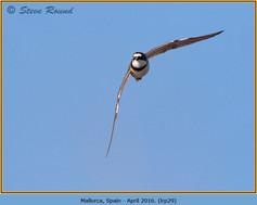 little-ringed-plover-29.jpg