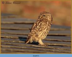 little-owl-47.jpg