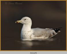 herring-gull-39.jpg