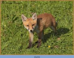 fox-53.jpg