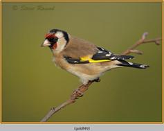 goldfinch-49.jpg