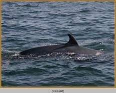 minke-whale-03.jpg