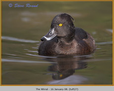 tufted-duck-27.jpg