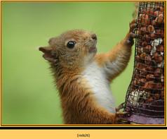 red-squirrel-26.jpg