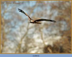 red-kite-63.jpg