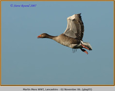 greylag-goose-05.jpg
