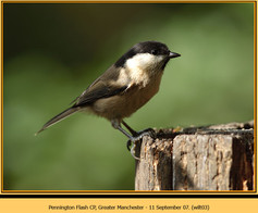 willow-tit-03.jpg